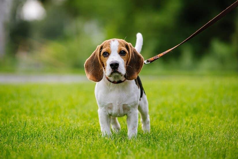 Beagle Welpe an der Leine