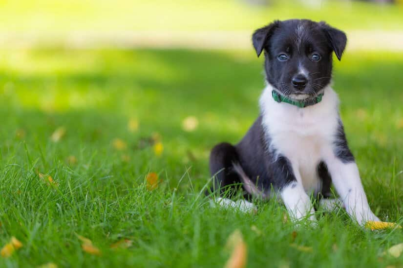 Border Collie Welpe auf dem Rasen