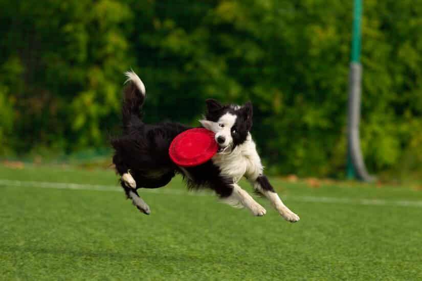 Border Collie beim Frisbee-Spielen