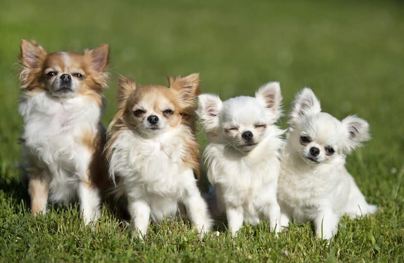 Chihuahua Welpen Welpenkniggede