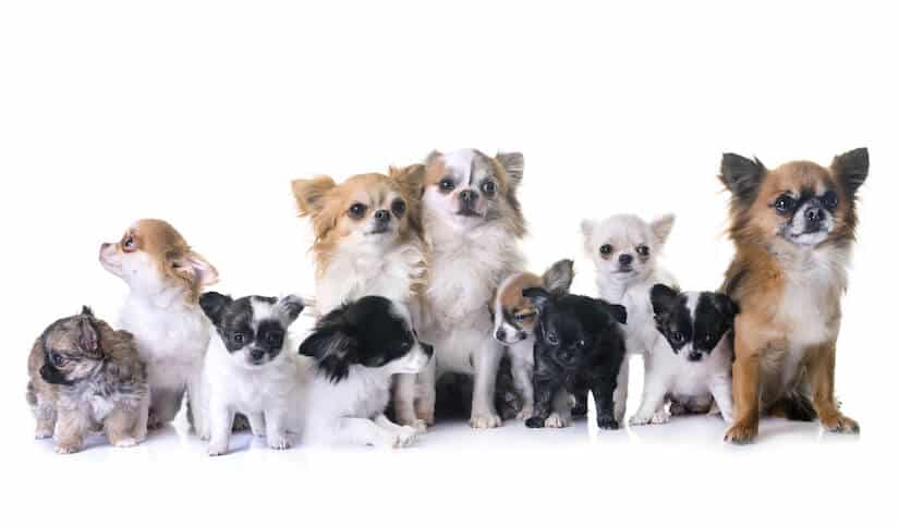 Chihuahua Welpen und Adults