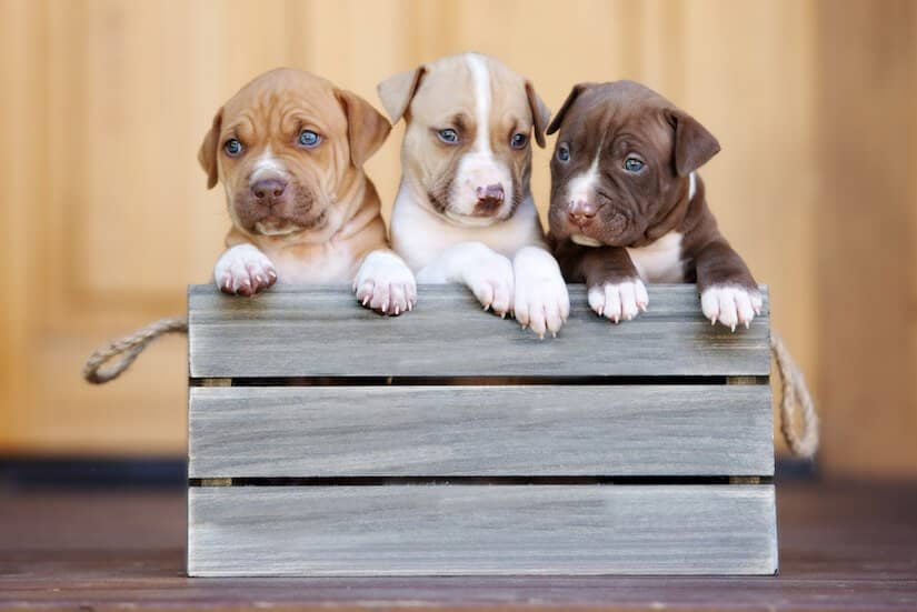 Drei American Pitbull Welpen in einer Holzkiste