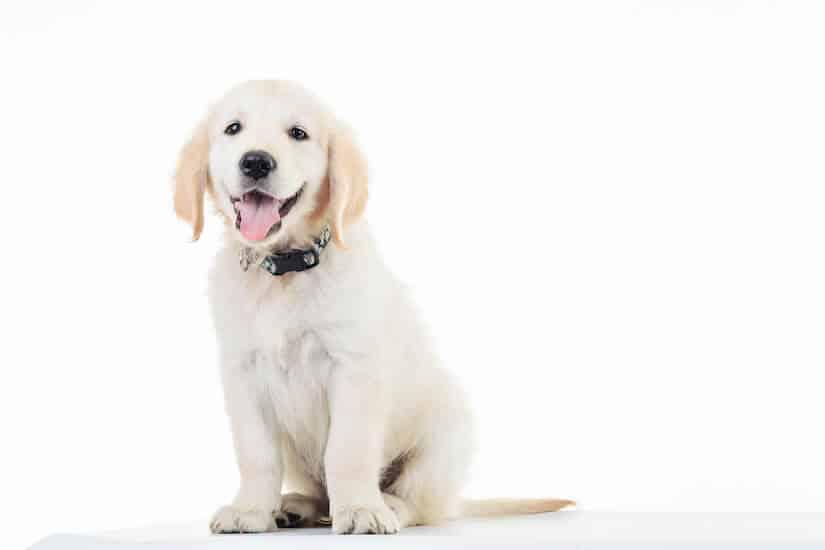 Heller Labrador Retriever Welpe