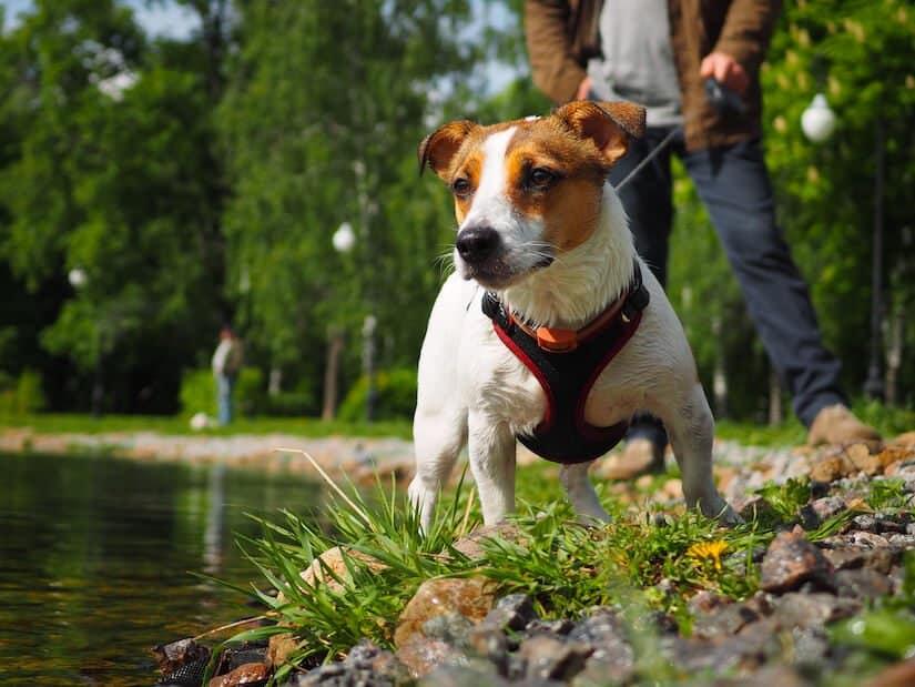 Jack Russel Terrier mit Geschirr und Leine am See