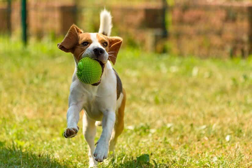 Junger Beagle Welpe spielt mit einem Ball