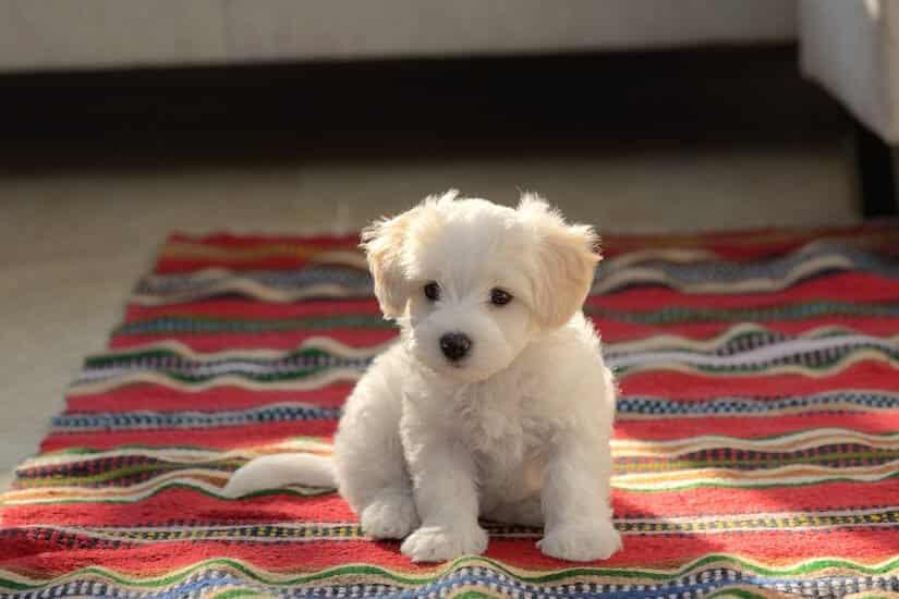 Malteser Welpe auf dem Teppich
