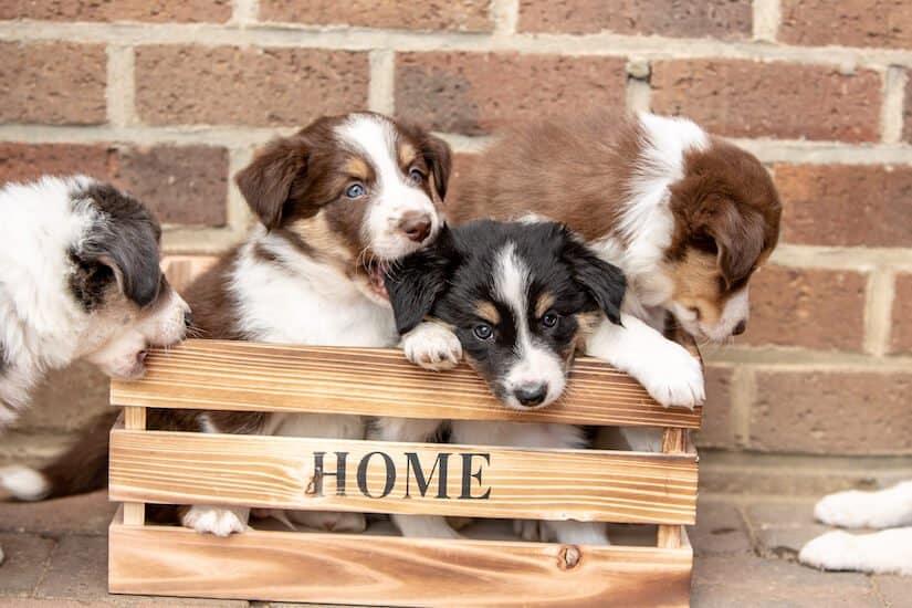 Vier Border Collie Welpen in einer Holzkiste