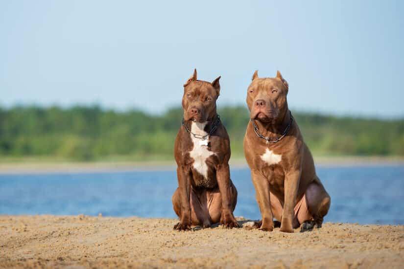 Zwei American Pitbull Terrier am Strand