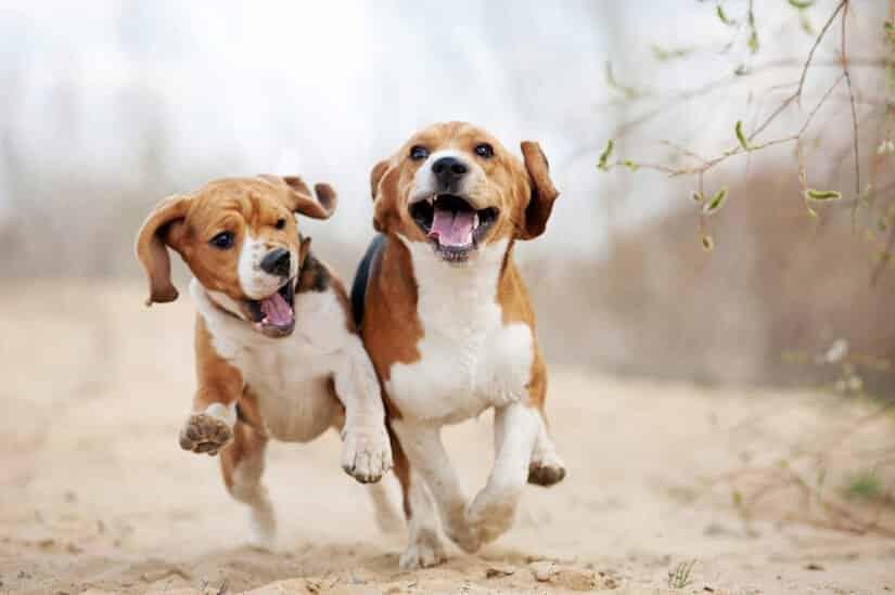 Zwei Beagles rennen am Strand