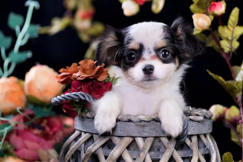 Chihuahua Welpe in einem Körbchen
