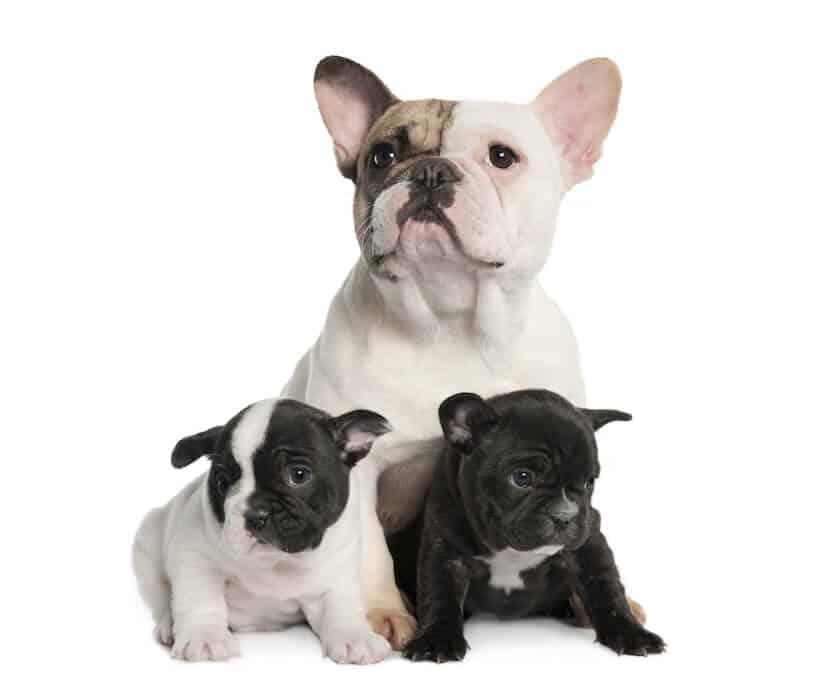 Französische Bulldogge Mutter mit Welpen