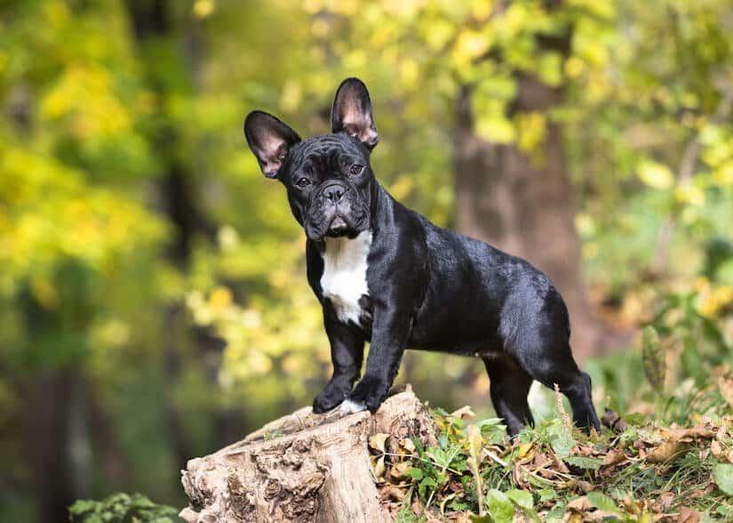 Franzosische Bulldoggen Welpen Welpenknigge De