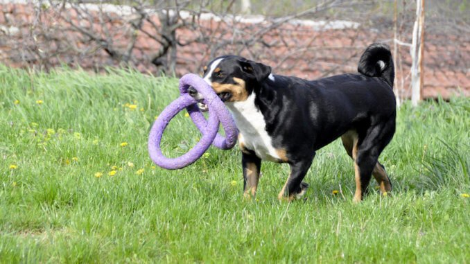 Appenzeller Sennenhund Welpen Welpenknigge De