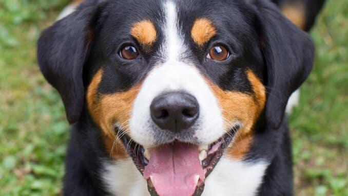 Entlenbucher Sennenhund Welpen Welpenknigge De