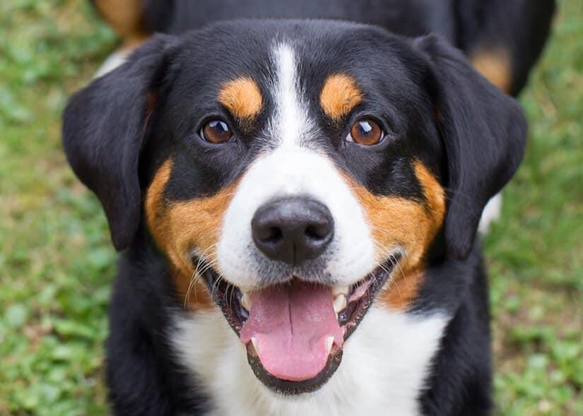 Entlebucher Sennenhund Welpe guckt in die Kamera