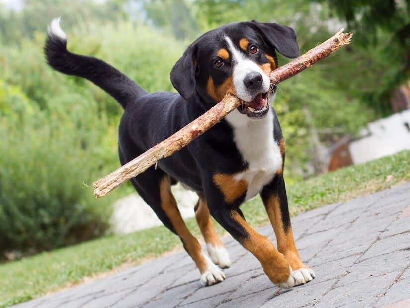 Entlebucher Sennenhund Welpe mit Stock im Maul