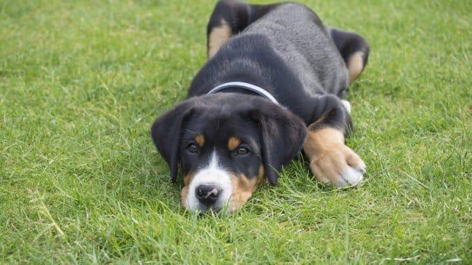 Großer Schweizer Sennenhund Welpe mit Halsband liegt auf dem Rasen