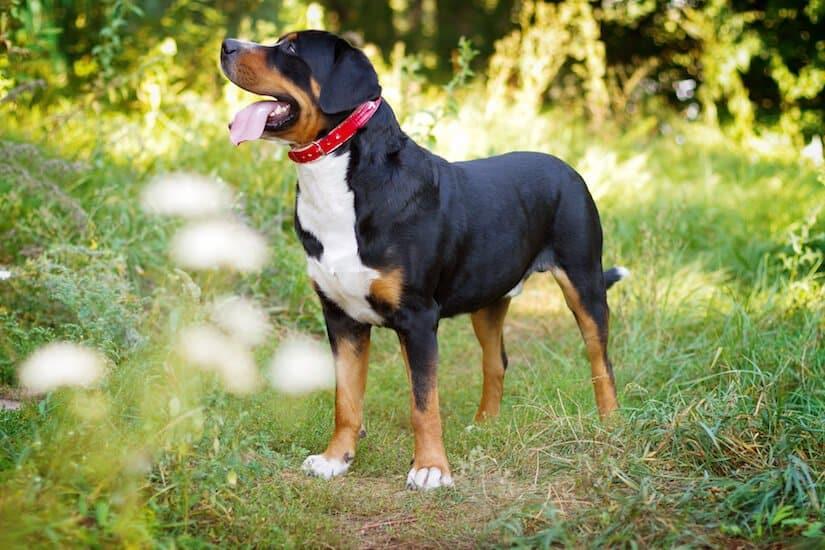 Grosser Schweizer Sennenhund Welpen Welpenknigge De