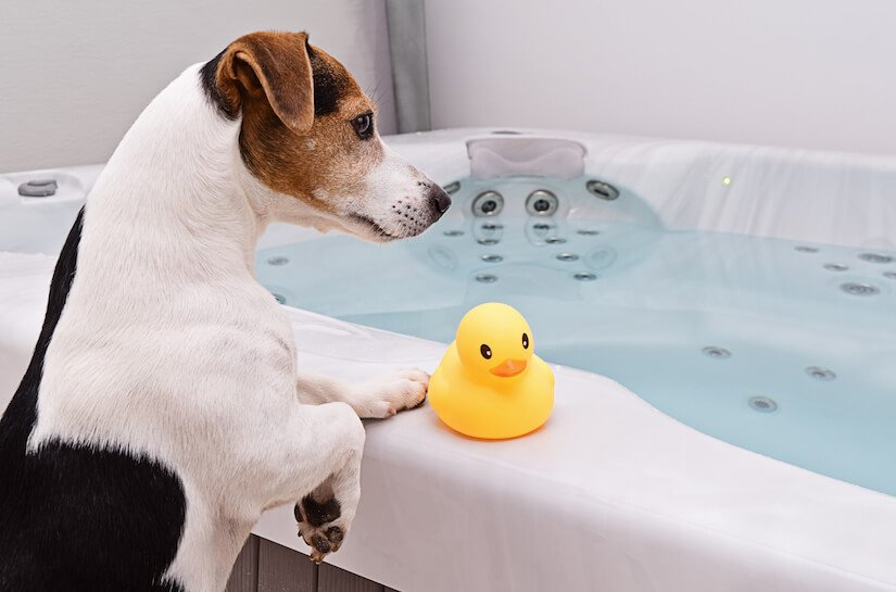Jack Russel Welpe wartet vor der Badewanne auf sein Bad