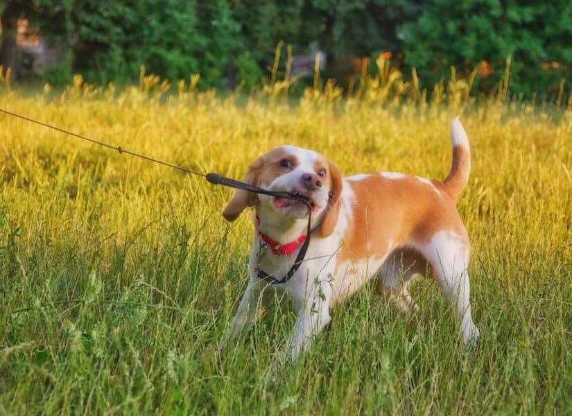 Junger Welpe beißt in die Welpenleine
