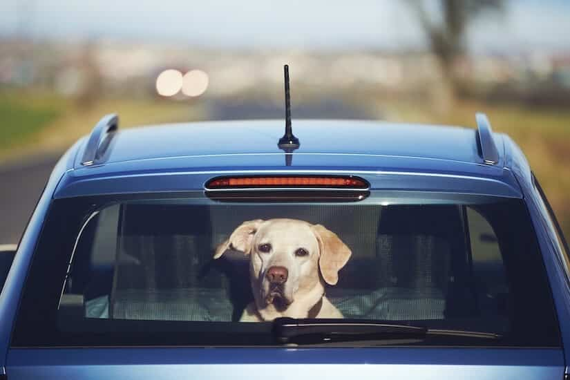 Labrador im Auto Kofferraum mit Schutznetz