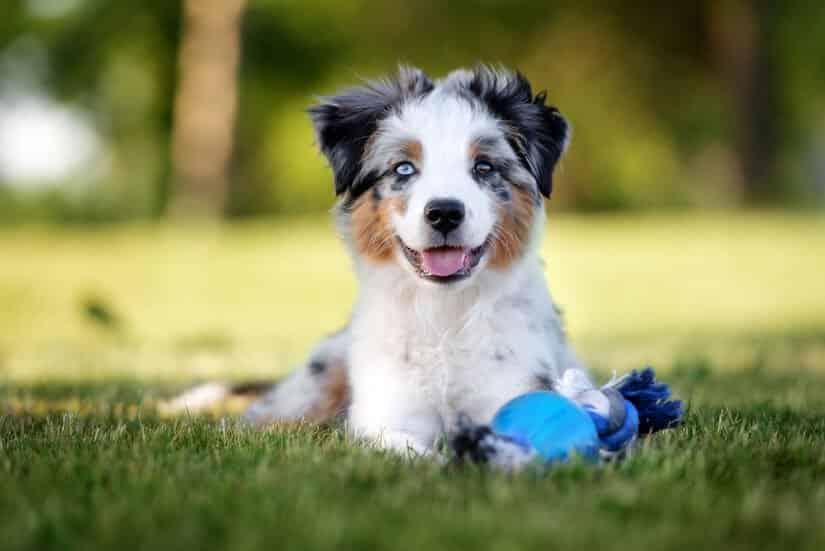 Mini Aussie Welpe auf dem Rasen mit Spielzeug