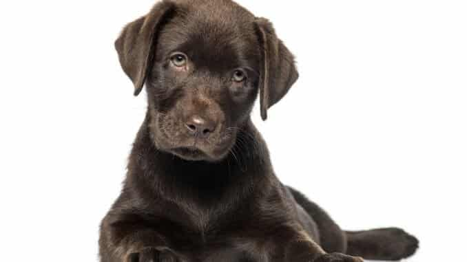 Labrador Mix Welpen Welpenknigge De