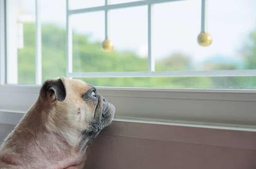 Welpe ist alleine zu Hause und schaut aus dem Fenster