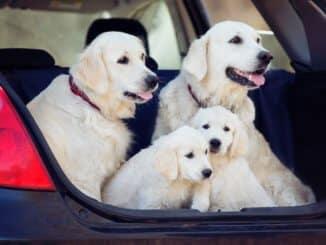 Welpen im Auto Kofferraum sicher transportieren