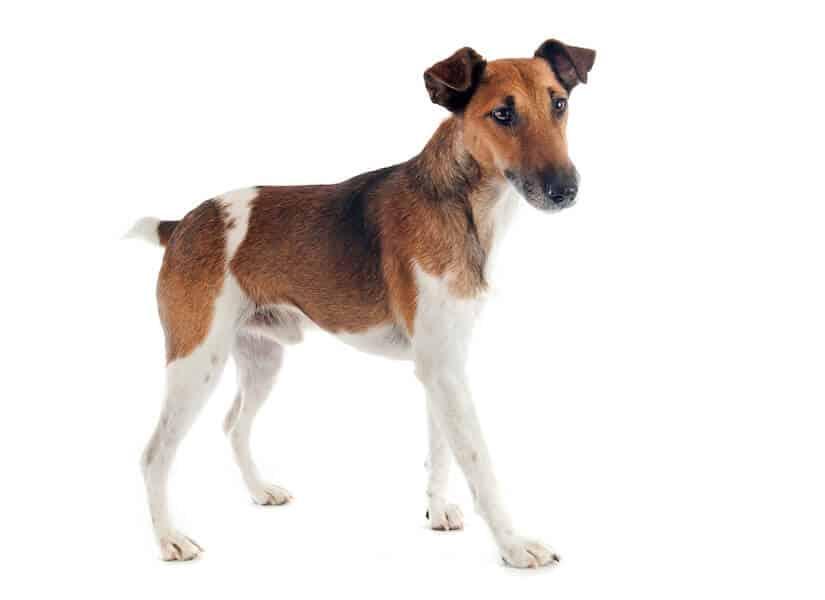 Foxterrier Glatthaar Junghund