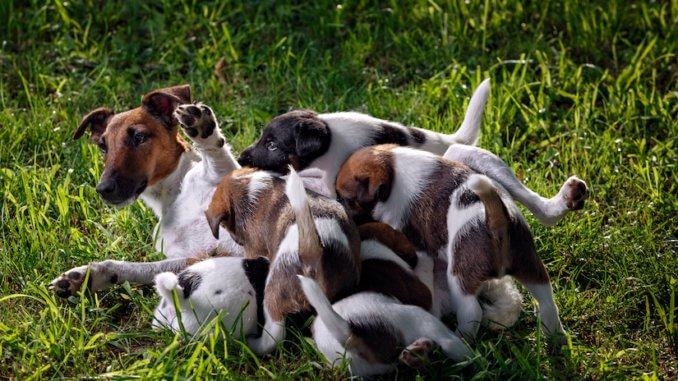 Glatthaar-Foxterrier Mutter mit ihren Welpen
