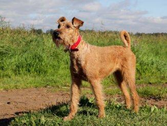 Irish Terrier Junghund beim Spaziergang auf dem Feld