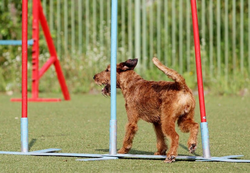 Irish Terrier Welpe beim Agility Training