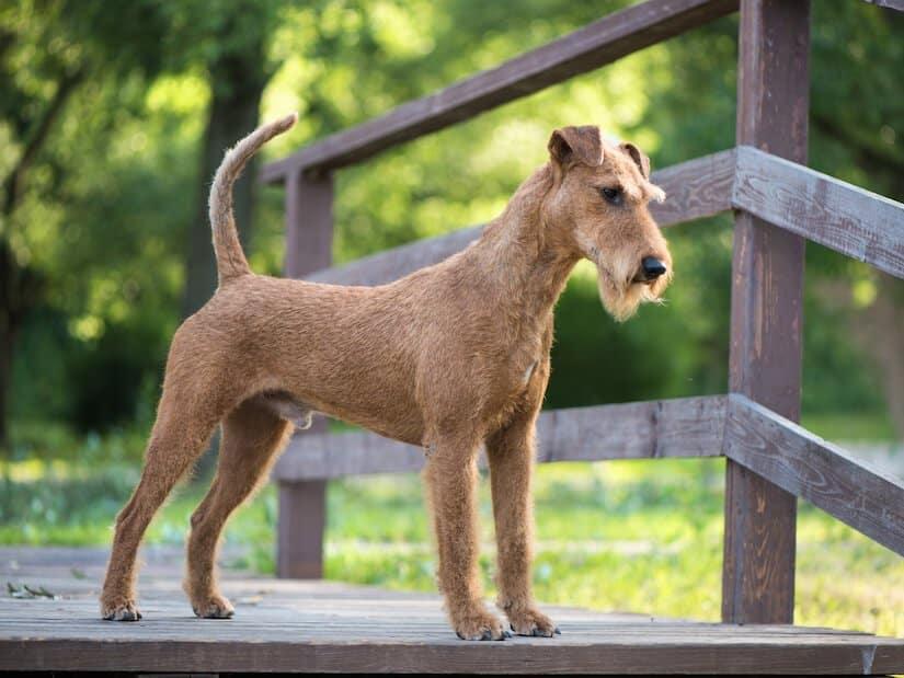Irish Terrier auf einer Brücke