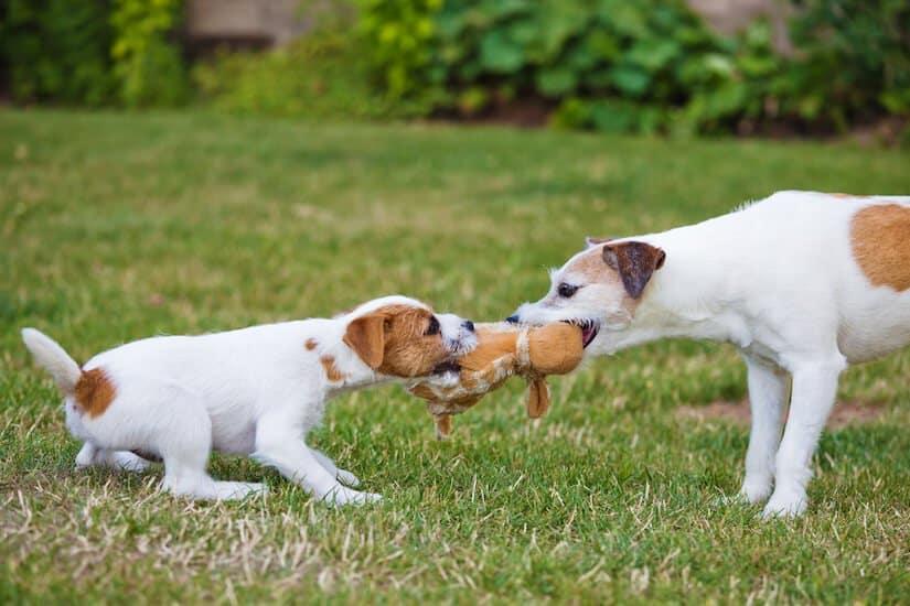 Parson Russell Terrier Welpe spielt mit Mutter auf dem Rasen