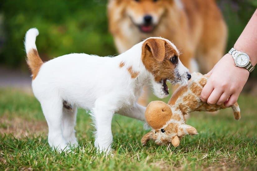 Parson Russell Terrier beim Spielen