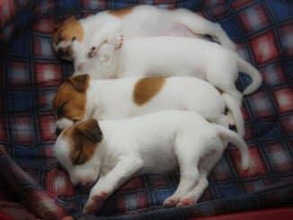 Vier kleine Parson Russell Terrier Welpen schlafen im Hundebett