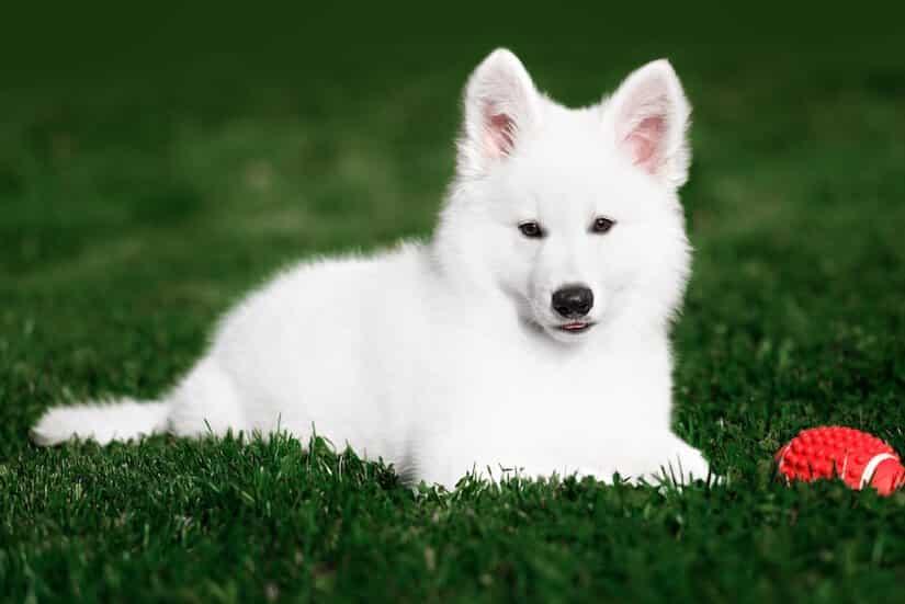 Weißer Schweizer Schäferhund Welpe mit Spielzeug auf dem Rasen