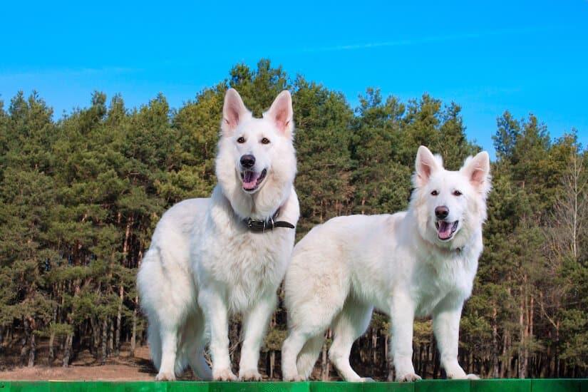 Zwei weiße Schweizer Schäferhunde