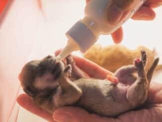 Neugeborener Welpe wird mit Welpenmilch gefüttert