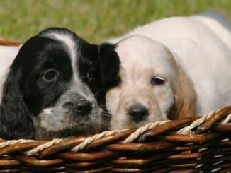 Zwei English Setter Welpen in einem Hundekorb