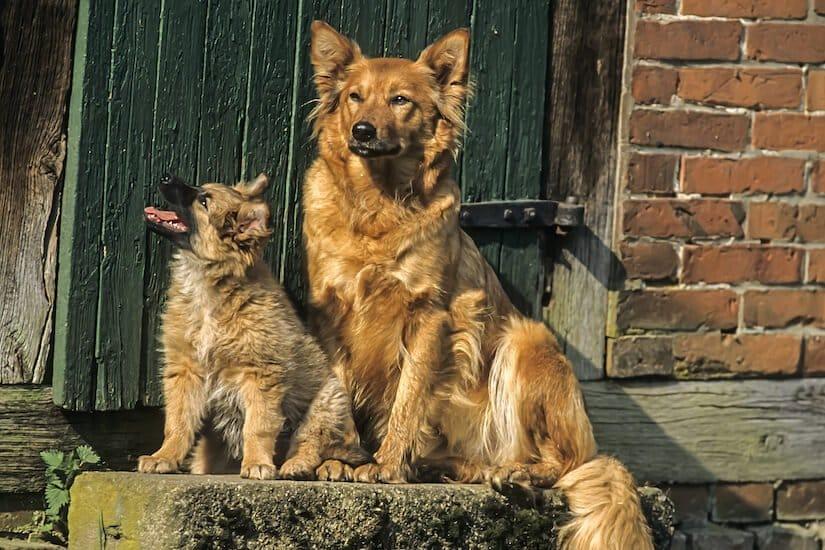 Harzer Fuchs Welpe mit Mutter sitzend vor dem Haus