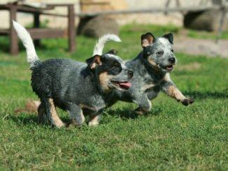 Australian Cattle Dog Welpen spielen auf dem Rasen
