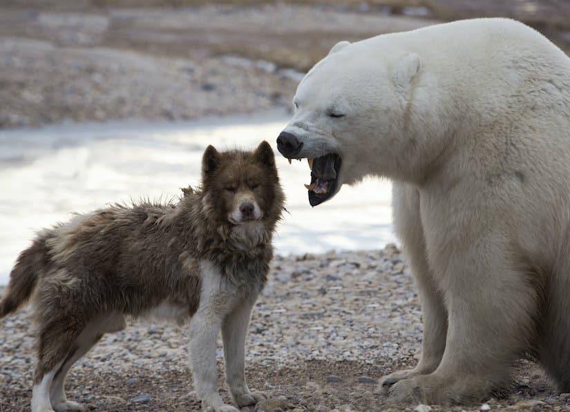 Kanadischer Eskimohund und Eisbär